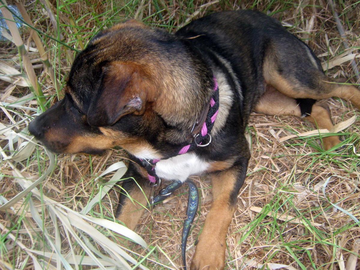 bongo-abandoned-rottweiler-puppy-javea4